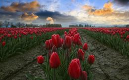 Red Tulips Fields Close Up wallpapers | Red Tulips Fields Close Up 410