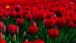 Red tulip field wallpaperFlower wallpapers#44396 1556