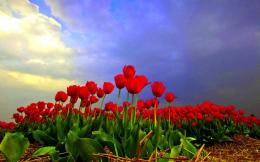 Red Tulips Field HD Wallpaper Free Download 1396