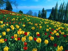 Precious Tulip Field HD Wallpaper ~ The Wallpaper Database 390