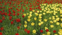Yellow and red tulips on the field wallpapers and imageswallpapers 696