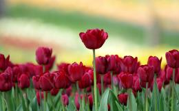 Red Tulips Field Wallpapers Pictures Photos Images 1411