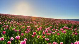 Tulip field wallpaper #10930 971