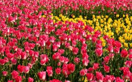 Yellow Purple Red Tulips Field Flowers Wallpapers | Mulberry Nails 1705