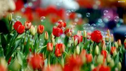 Red Tulips Field Wallpaperwallpaper,wallpapers,free wallpaper 1275