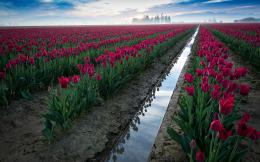 Red Tulips Field Ditch & Water wallpapers | Red Tulips Field Ditch 1713