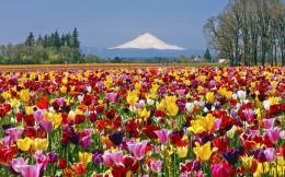 Tulip field Widescreen Wallpaper#5546 1548