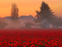 Wallpaper HD Red Tulips FieldHD Wallpaper Expert 1255