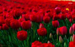 Field of red tulips wallpaperFlower wallpapers#43570 1559