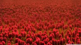 Red Tulip Field Wallpaper 1920x1080 Red, Tulip, Field 197