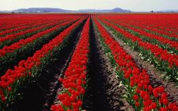 Red Tulips Field wallpapers | Red Tulips Field stock photos 618