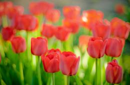Red tulips flower field nature HD Wallpaper 1823