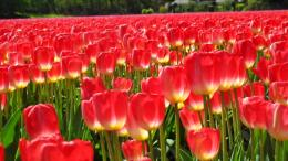 Download Field of red Tulips wallpaper in Flowersplants wallpapers 491