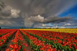 Red Tulip Fields | Download HD Wallpapers Photos 2000