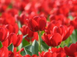 Spring flowers red tulips field nature 1024x768 390