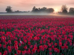 1024x768 Red Tulip Field desktop PC and Mac wallpaper 1473