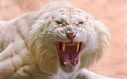 Angry White Tiger Wallpapers Pictures Photos Images 1602