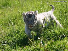 Baby white tiger wallpaper |Funny Animal 726