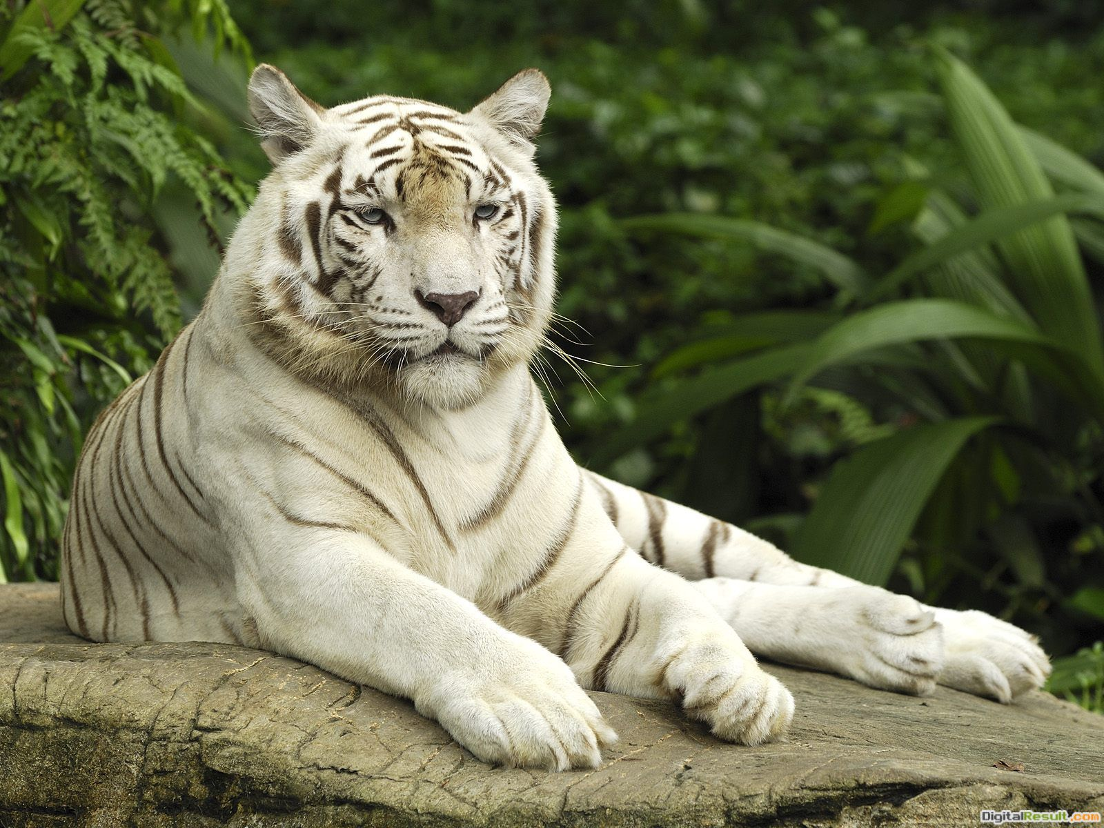 White Tiger Wallpapers 1686