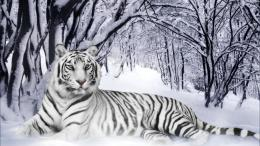 wallpaper white tiger 20 438 views yellow 12 824 views white tiger 718