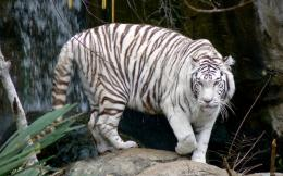 White Tiger | White Tiger desktop Wallpaper | White Tiger HD Desktop 229