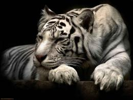 White Tiger Wallpaper | Maceme Wallpaper 1764