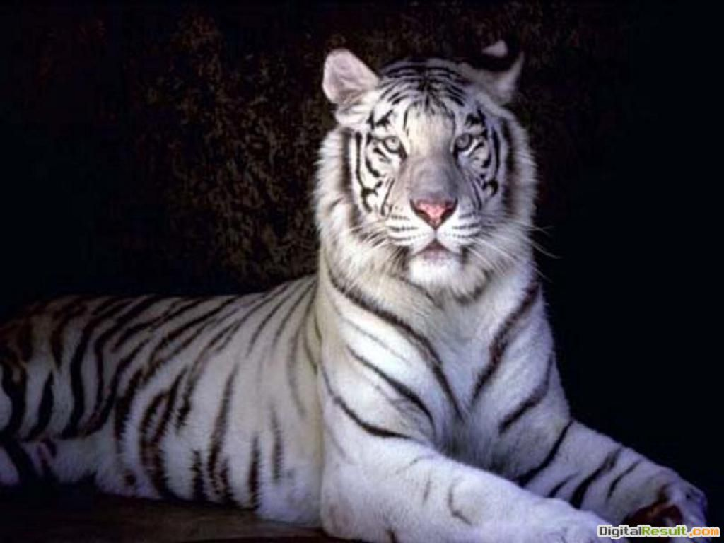 white tigers wallpaper white cute tigers two beautiful white tigers 1108