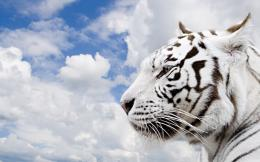 desktop wallpapers tiger white themes animals keyword 1920x1200 672