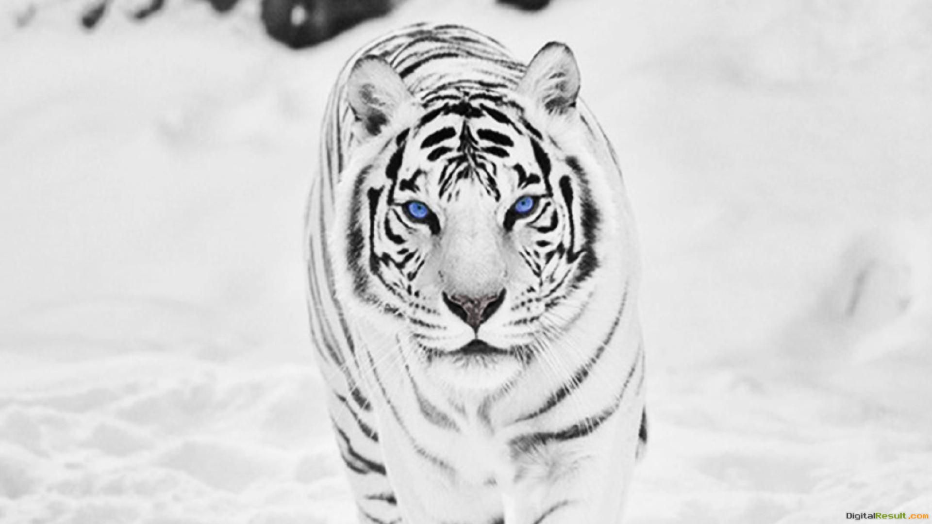 White Siberian Tiger WallpapersWallpaper Cave 398