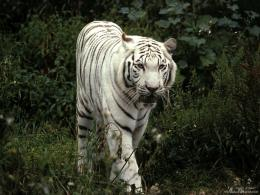 free wallpaper pc, free computer wallpaper download, White tiger 196