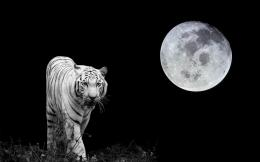 White Tiger images Tiger Moon HD wallpaper and background photos 1814