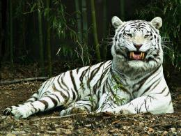 : White Tiger Wallpaper points | Full HD Wallpapers Points 751