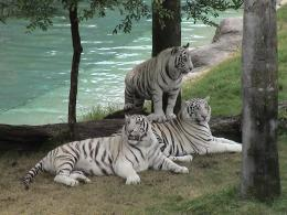 Nature wallpaper: White Tigers Free Desktop Wallpaper, White Tigers 807