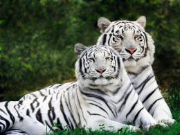 Beautiful White tiger | HD Wallpaper 587