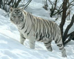 TIGER WALLPAPERS: Best White Tiger Wallpapers 468