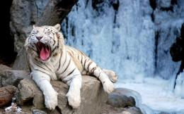 TIGER WALLPAPERS: White Tiger On Rocks Wallpaper 1050