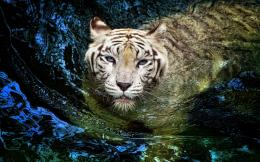 White Tiger Swimming HD Wallpaper 631