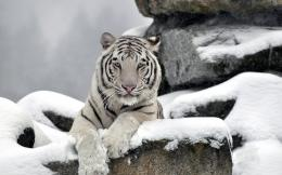 Tiger white albino snow winter wallpaper | 1920x1200 | 79429 820