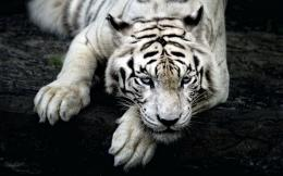WHITE TIGER HD 949