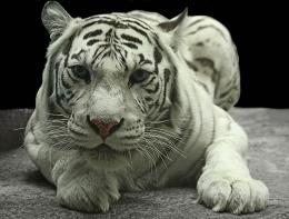 you have read this article the white tiger s latest wallpapers in high 1450