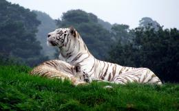 TIGER WALLPAPERS: Mountain White Tiger Wallpapers 845