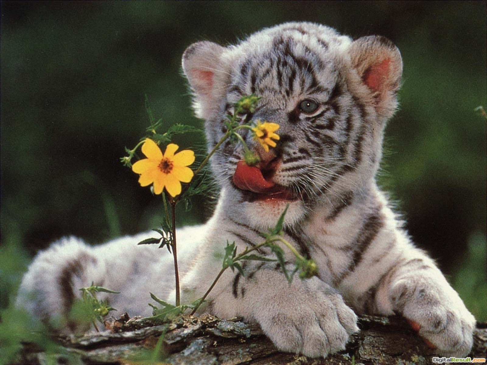 Baby White Tigers Wallpapers2013 Wallpapers 659