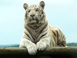 White Tiger Wallpapers 1830