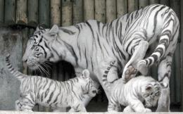 Baby White Tigers Wallpapers2013 Wallpapers 1712
