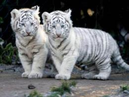 Baby White Tigers Wallpapers2013 Wallpapers 1705