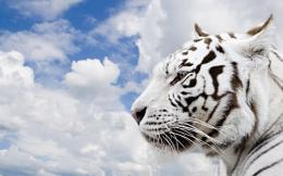 widescreen wallpaper eu view jungle white tiger 1920x1080 html 1756
