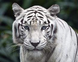 Description: The Wallpaper above is White Tiger Background Wallpaper 773