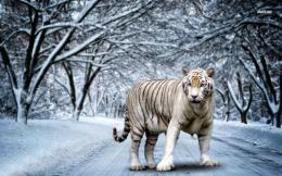 Best 35 Bengal Tiger Pictures and Wallpapers 1241