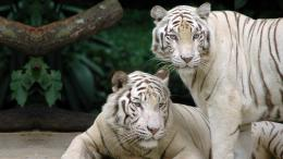 White Tiger | inspiration photos 849