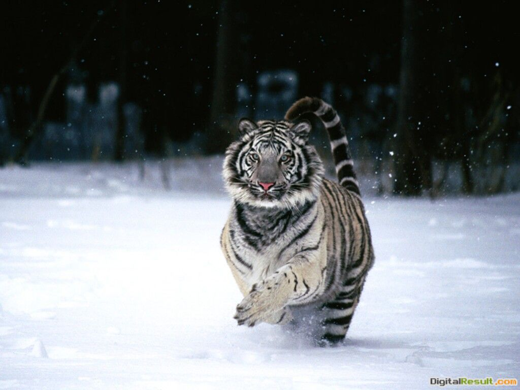 TIGER WALLPAPERS: Best White Tiger Wallpapers 1836